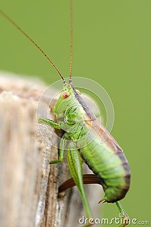 Dotted-locust - Leptophyes punctatissima