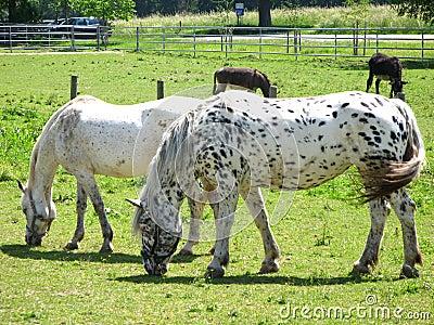 Dottet white horses