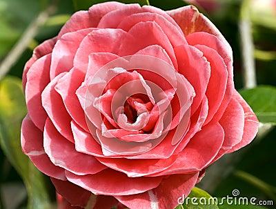 Camellia Admiral Nimitz
