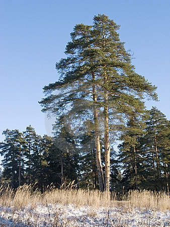 Double pine tree in winter forest