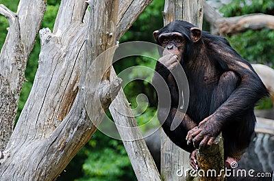 Doubtful chimpanzee