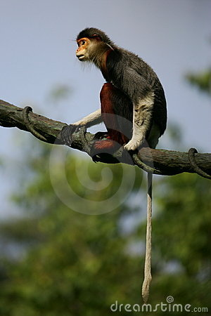 Douc Langur Monkeys