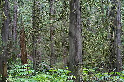 Douglas Fir trees in Rain Forest
