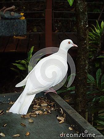 Free Dove Stock Photos - 129613