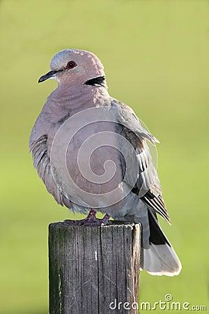 Free Dove Bird Stock Image - 10553921