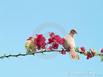 Dove on blossoming branch