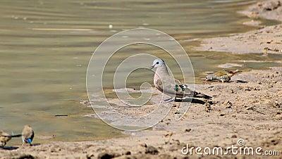 Dove, Emrald-spotted - African Gamebird