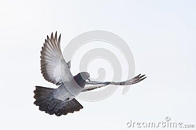 Dove in flight