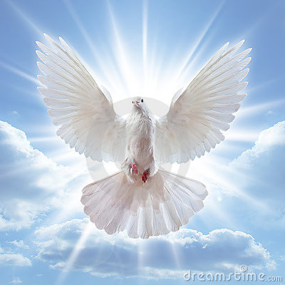 Free Dove In The Air With Wings Wide Open Royalty Free Stock Image - 13084846