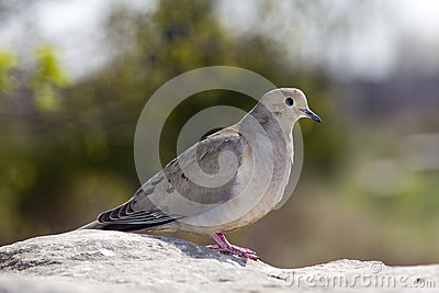 Dove on a rock