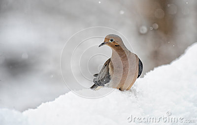 Dove in snow