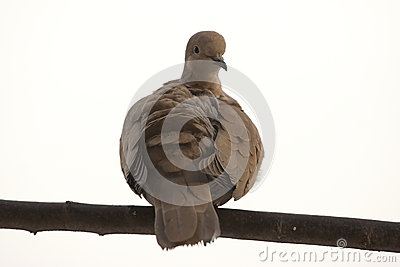Dove on a stick
