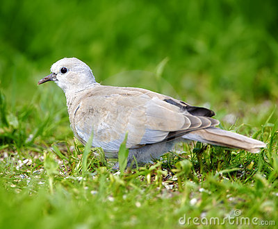 Dove walking