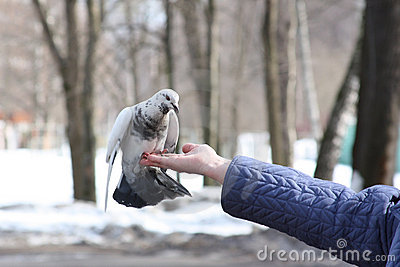 Dove on woman s hand