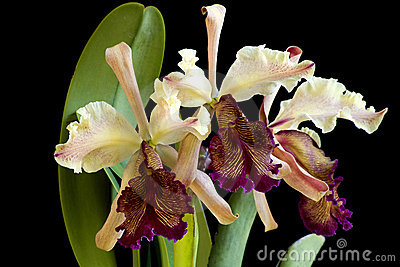 Dowiana Orchid