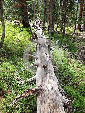 Downed Log