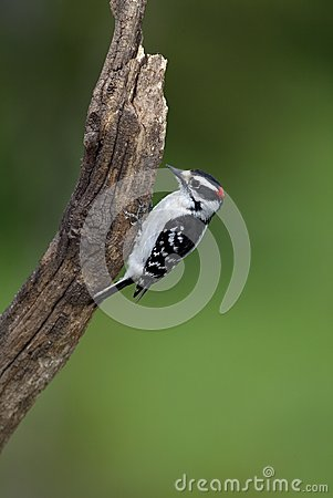 Downey Woodpecker (Picoides pubescens)