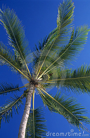 Downview of Palm trees leaves at Mauritius Island