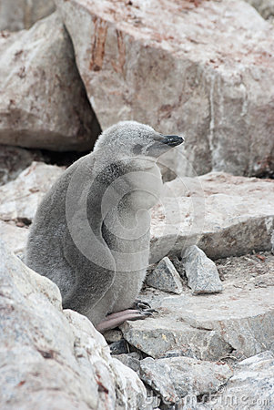 Downy chick Antarctic penguin.