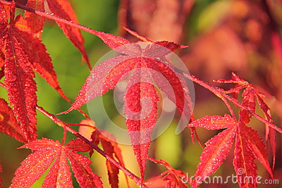 Downy Japanese Maple. Leaves.