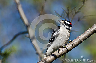 Downy Woodpecker Perched in a Tree