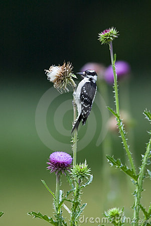 Downy Woodpecker ({Picoides pubescens)