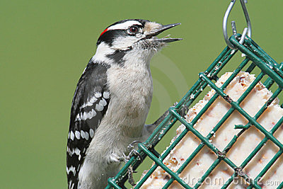 Downy Woodpecker (Picoides Pubescens) Stock Photo - Image: 24110440