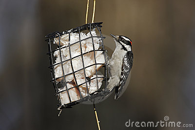 Downy Woodpecker (Picoides pubescens medianus)