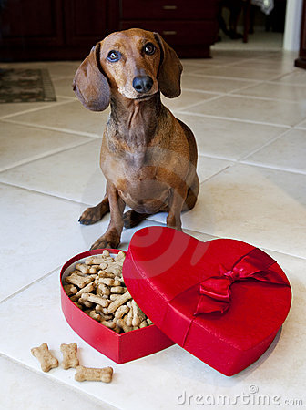 Doxie dog with heart shaped box full of treats