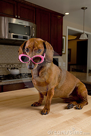 Doxie dog wearing pink sunglasses