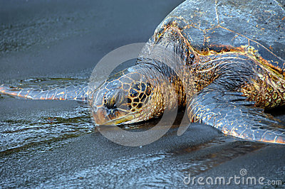 Dozing Oblivious Green Sea Turtle