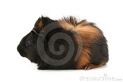 Dr. Fuzz (Pet Guinea Pig) Over White Background