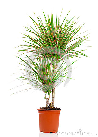 Free Dracaena In A Pot Royalty Free Stock Images - 58602909