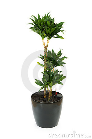 Dracaena plant isolated