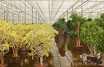 Dracaena plants in a hydroculture plant nursery