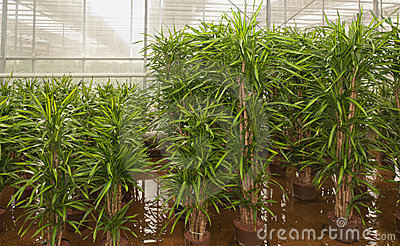 Dracaenas in a hydroculture plant nursery
