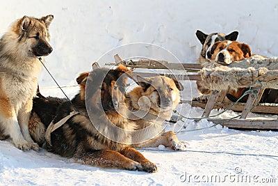 Draft dogs