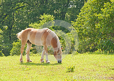 Draft horse grazing in green spring pasture