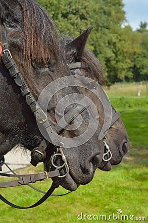 Free Draft Horses Stock Photography - 33917992