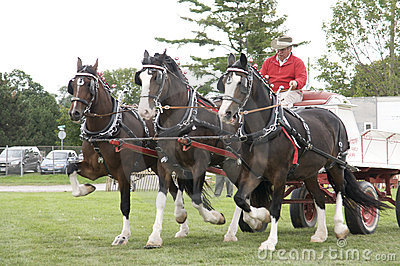 Draft Horses at Agricultural Fair Editorial Stock Photo