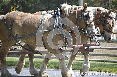 Draft horses II