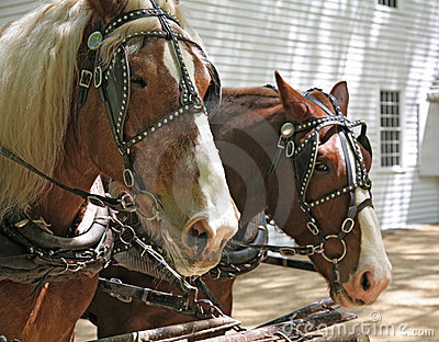 Pair of draft horses