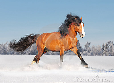 Draft russian horse