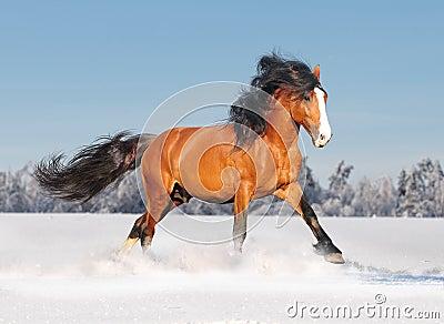 Draft russian horse
