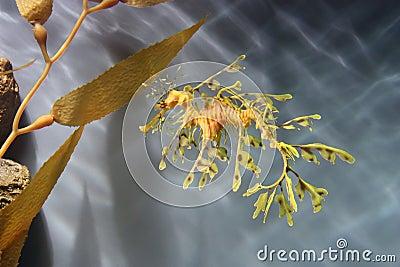 Dragón frondoso del mar