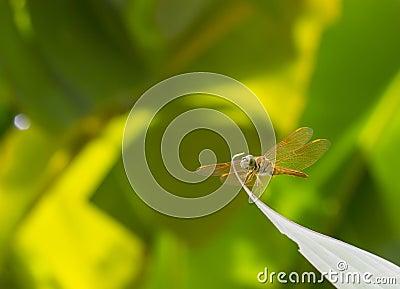 Dragon Fly on banana leaf