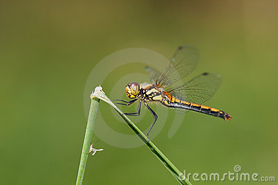 Dragon-fly female Sympetrum danae