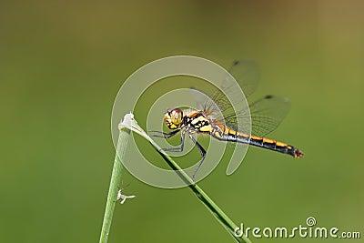 Dragon-fly female Sympetrum danae