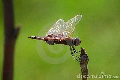 Dragon Fly with Sunbursts