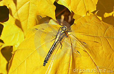 dragon fly  on a yellow maple leaf